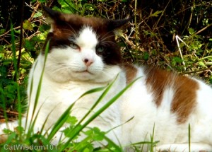 domino-cat-feral-snowshoe
