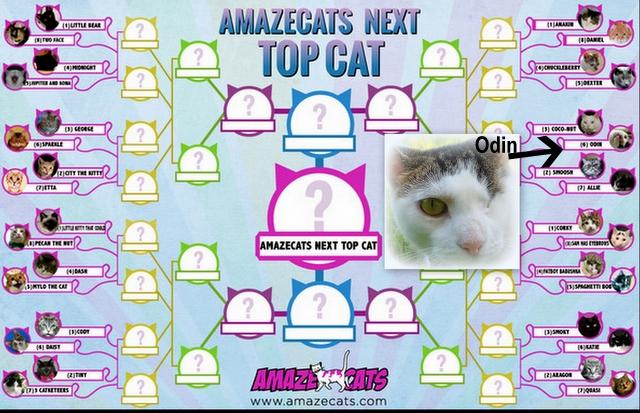 Amazecats-next top cat-Odin-cats