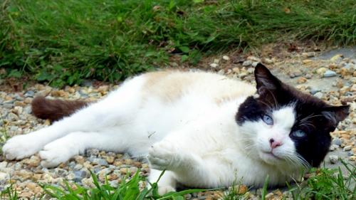 domino-cat-garden-snowshoe