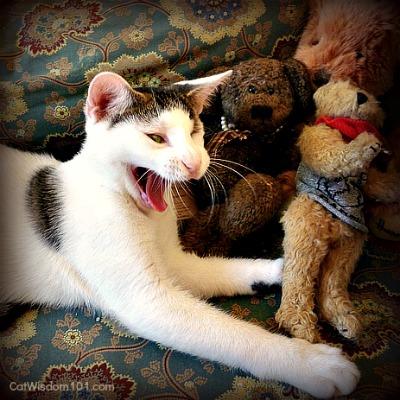 odin-kitten-bears