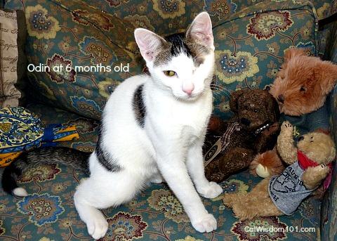 odin-kitten