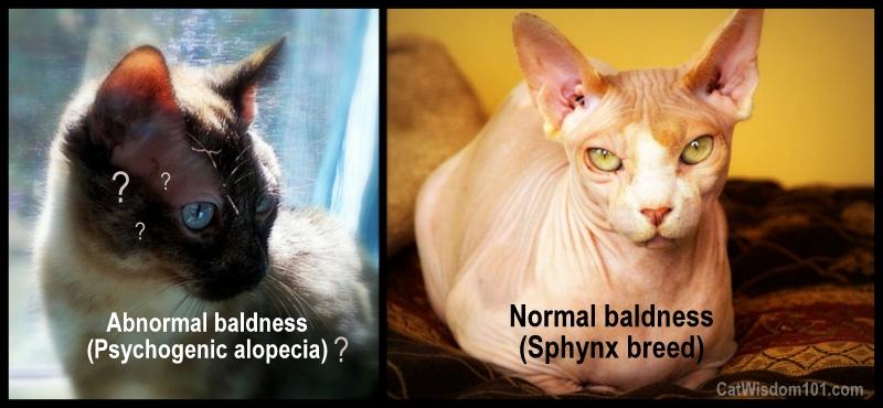 cat-alopecia-vet 101-sphynx