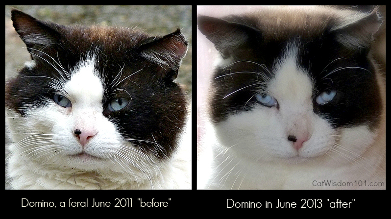 domino-feral cat-before and after