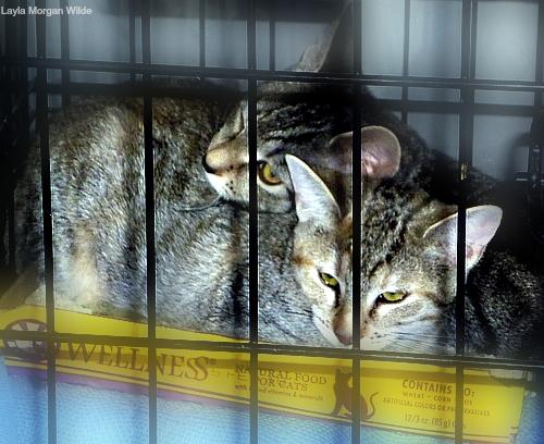 Bideawee kitten adoption