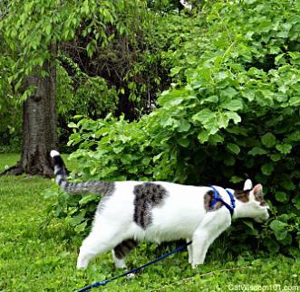 harness training cats