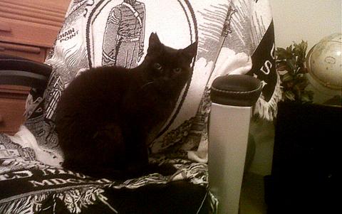 Kokohead cat Qatar