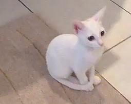 Lulu cat-friskies cat video contest