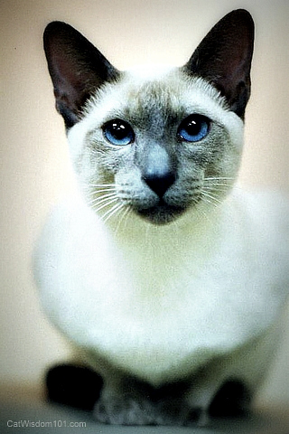 siamese-kitten-merlin