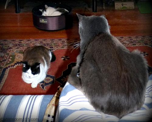 cats GG, Domino, Odin
