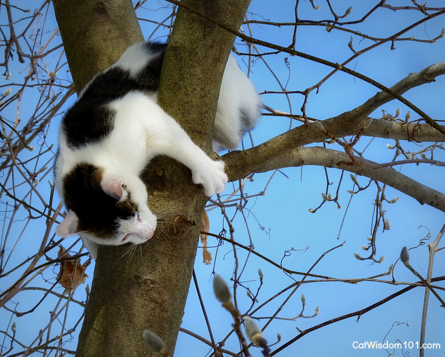 Odin the cat climbing down tree