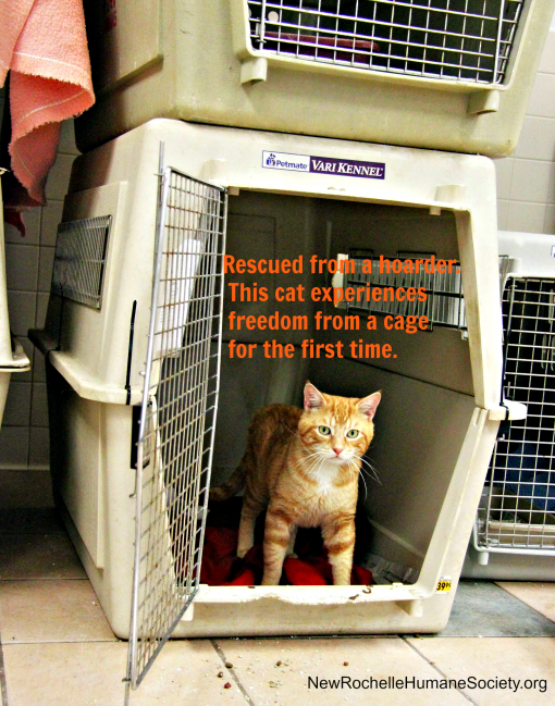 NRHS-ginger cat rescued from hoarder