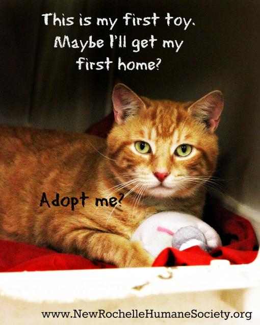NRHS-orange tabby foster cat