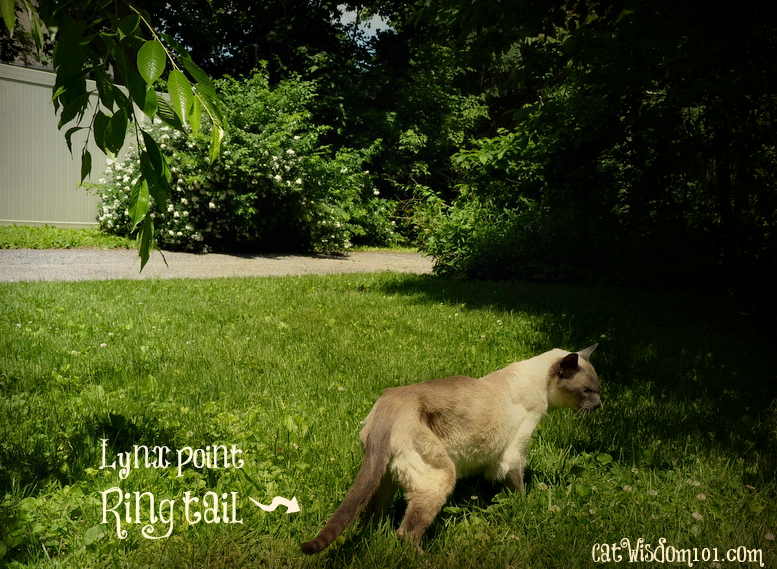 Merlin cat-siamese-meezer show your colors day