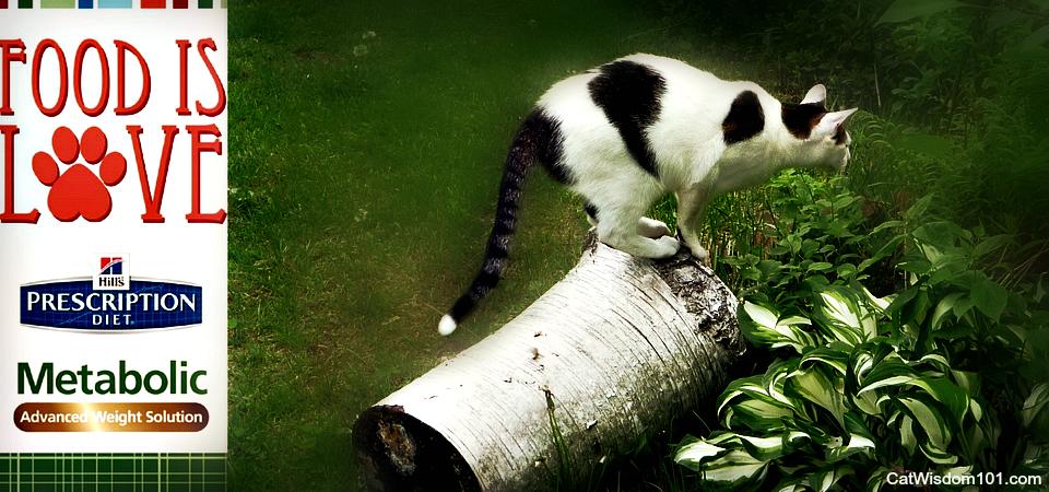 Vega The Feline #Hillspet Weight Loss Success Story