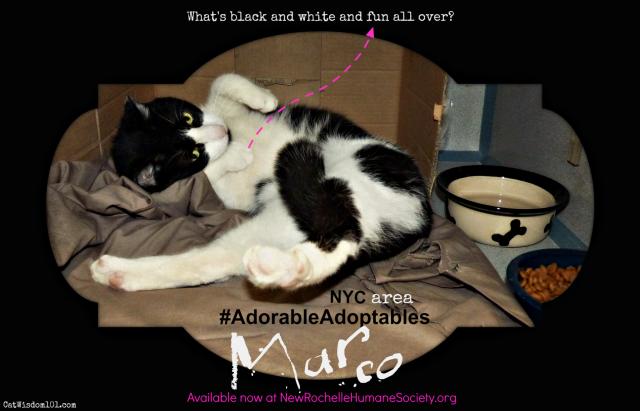cat_adoption_westchester_Humane_Society