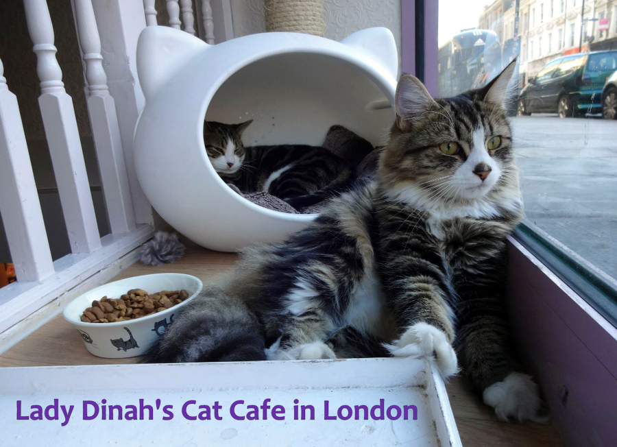 lady Dinah cat cafe london