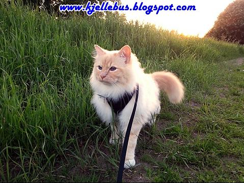 Charlie Rascal-kjellbus cat blog