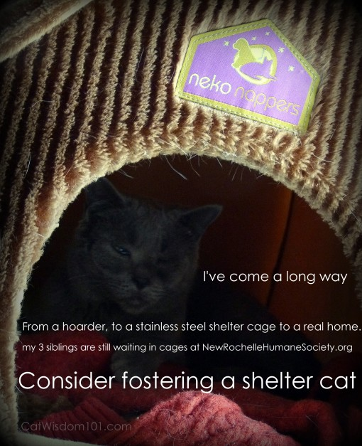 foster cat-new rochelle humane society