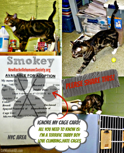 Smokey shelter tabby cat