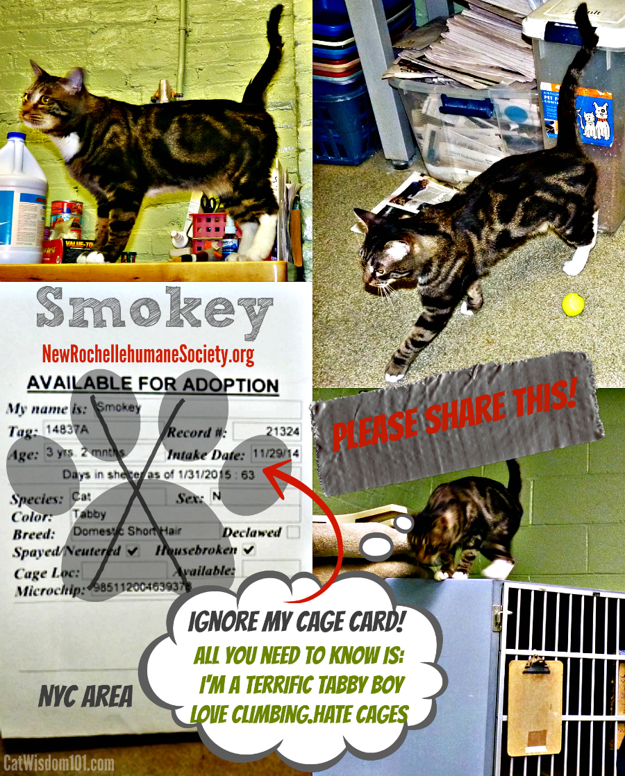 Smokey shelter tabby cat