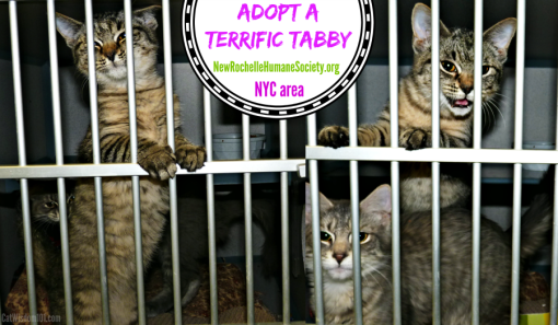adopt a tabby cat-kitten season