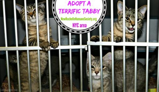 adopt a tabby cat-kitten season