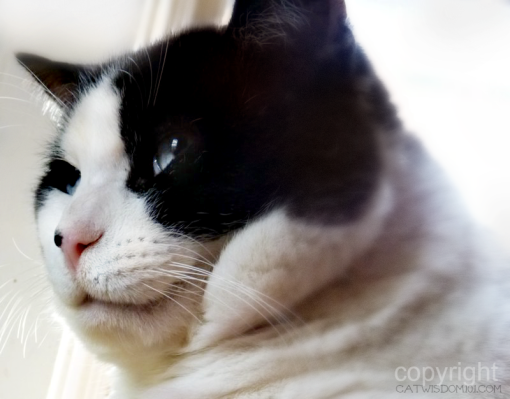 cat-domino-cheeks-former feral