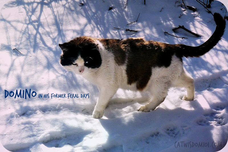 former feral cat domino snow