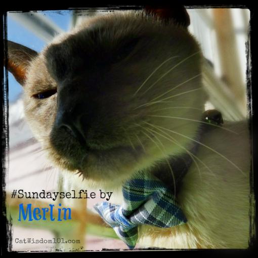 Pet_calendar_Bowtie_cat