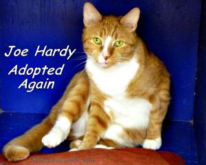 oe Hardy shelter cat-newrochelle humane society