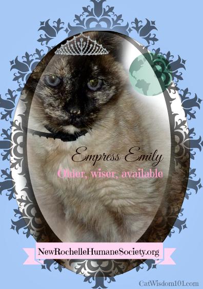 Emily Siamese shelter cat