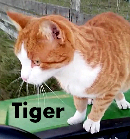 Justice for Tiger cat