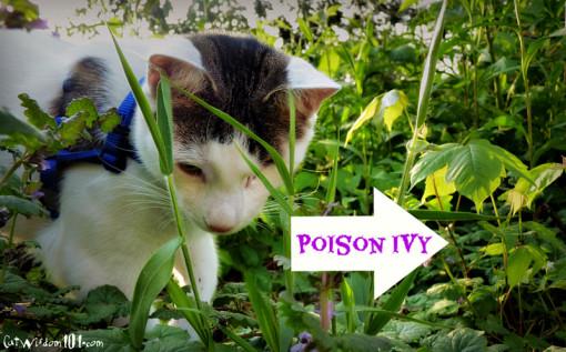 cat odin poison ivy
