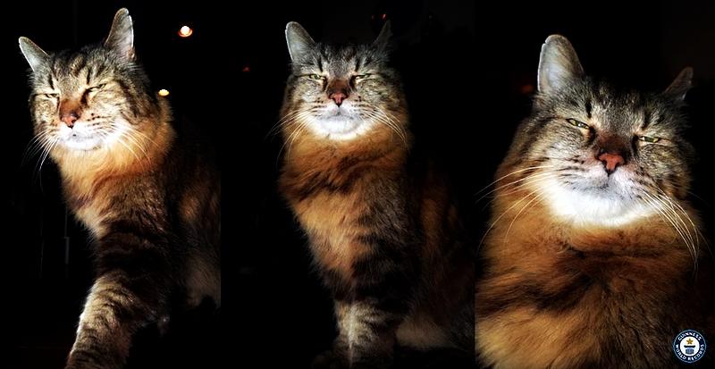 Corduroy-world's oldest cat-maine coon-