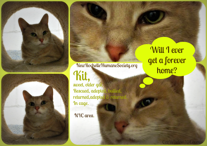 Kit, shelter cat, hoarder rescue