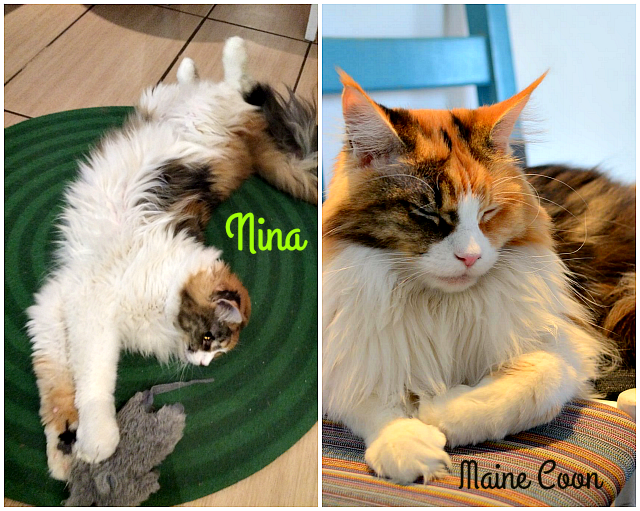 cat_cafe_Nina_mainecoon
