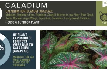 toxic_plant_caladium
