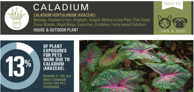 toxic_plant_pets_caladium
