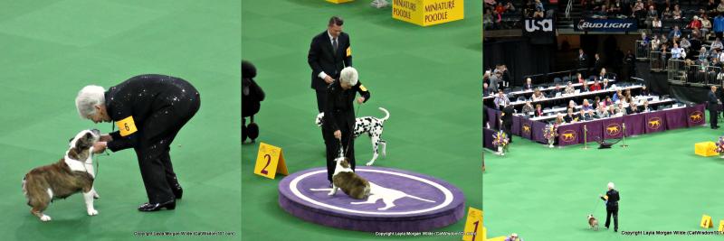 Westminster_bulldog_annabelle