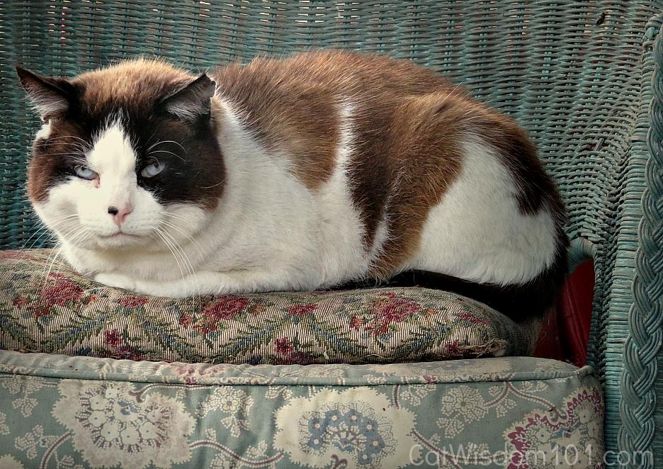 domino_snowshoe_cat_bluesteel