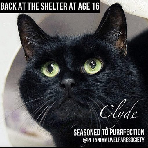 clyde_shelter_cat
