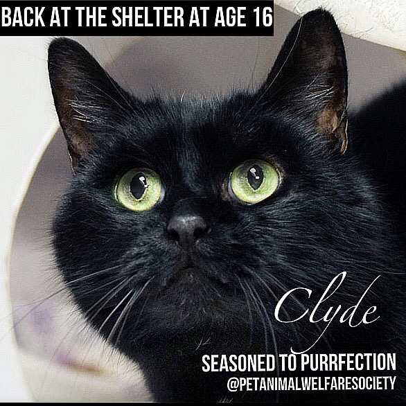 clyde_shelter_cat