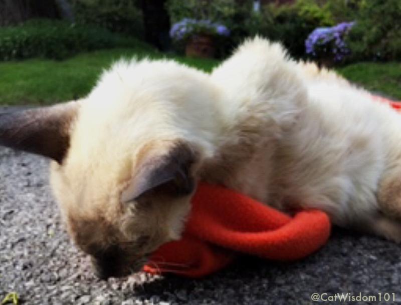 Merlin_cat_RIP