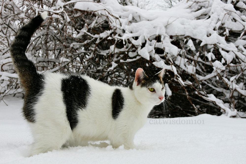 Odin_catwisdom101_snow
