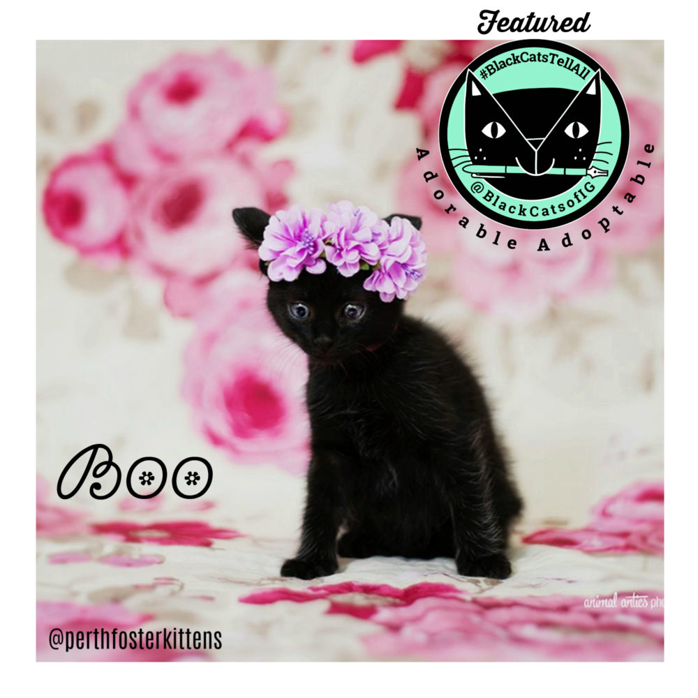 boo_adorableadoptable_black_kitten