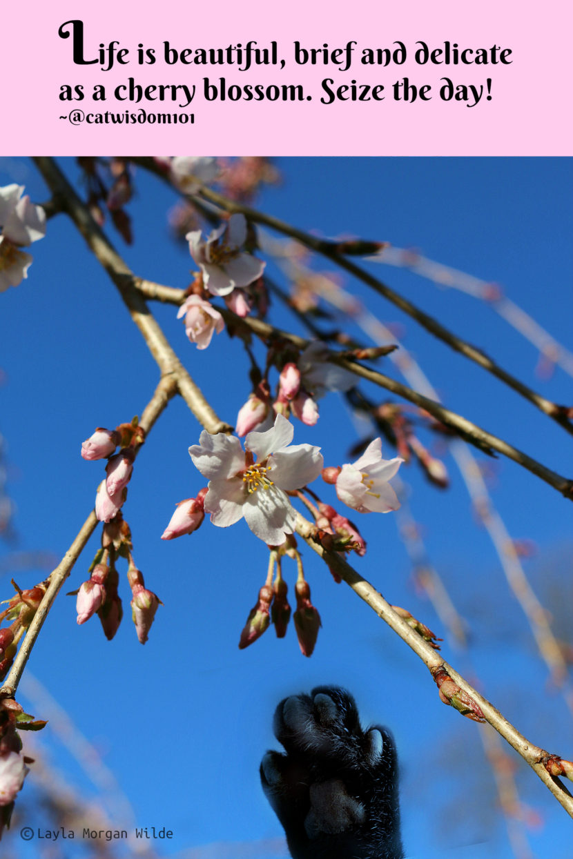 paw_cherry_blossom_quote