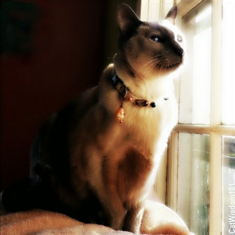 Siamese-merlin-crystals-collar-cat