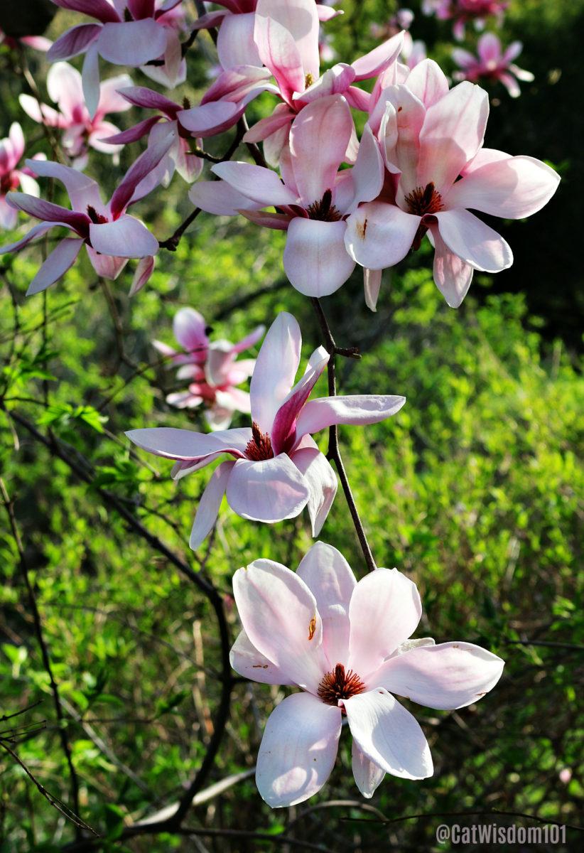 magnolia_blossom_catwisdom101