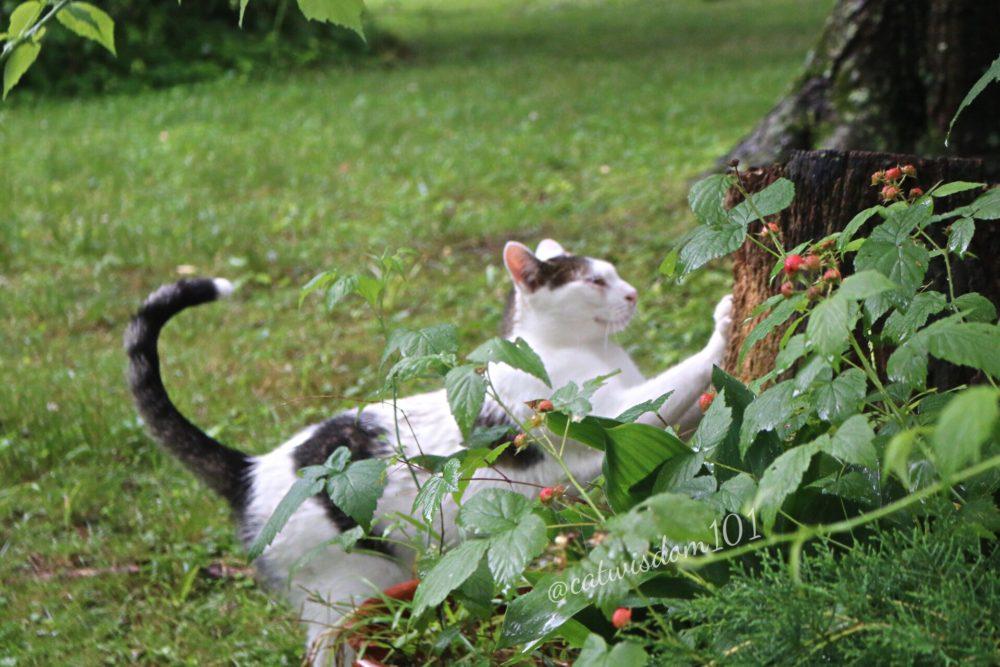 cat scratching tree raspberries