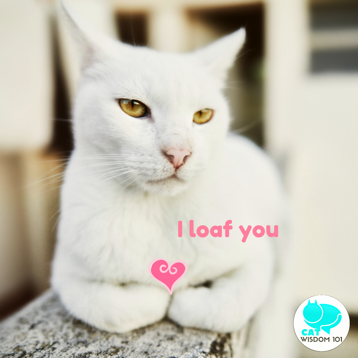 white_cat_loaf_valentine_catwisdom101